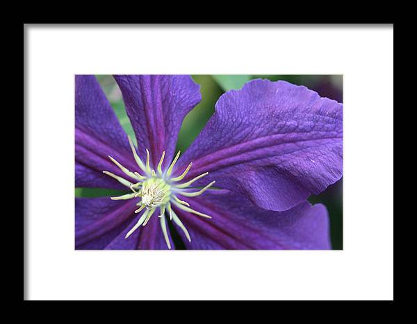 Floral Framed Print featuring the photograph Purple Clematis by Peg Toliver