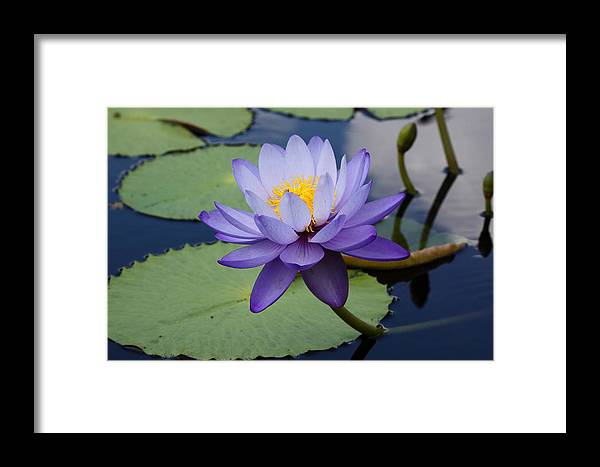 Flower Framed Print featuring the photograph Purple Moon by Paul Slebodnick