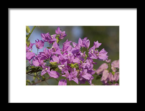Purple Framed Print featuring the photograph Purple of the Bougainvillea Blossoms by Douglas Barnard