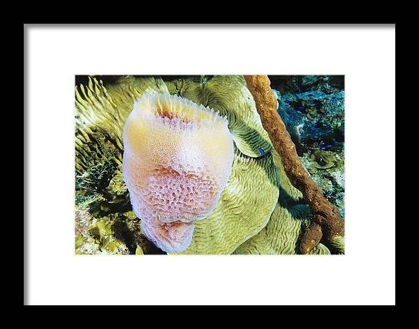 Callyspongia Plicifera Framed Print featuring the photograph Purple Vase Sponge by Alexis Rosenfeld