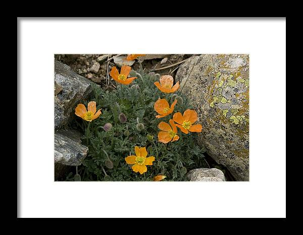 Pyrenean Poppy Framed Print featuring the photograph Pyrenean Poppy (papaver Lapeyrousianum) by Bob Gibbons