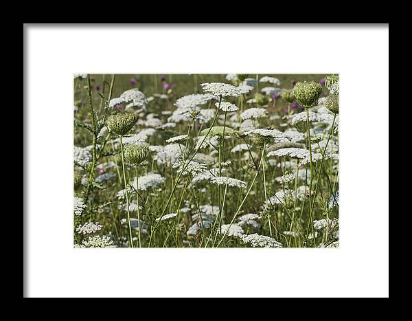 Daucus Carota Framed Print featuring the photograph Queen Anne's Lace Fields Forever by Kathy Clark