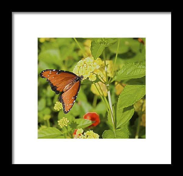 Queen Butterfly Framed Print featuring the photograph Queen Of The Lantana by Barbara Dean