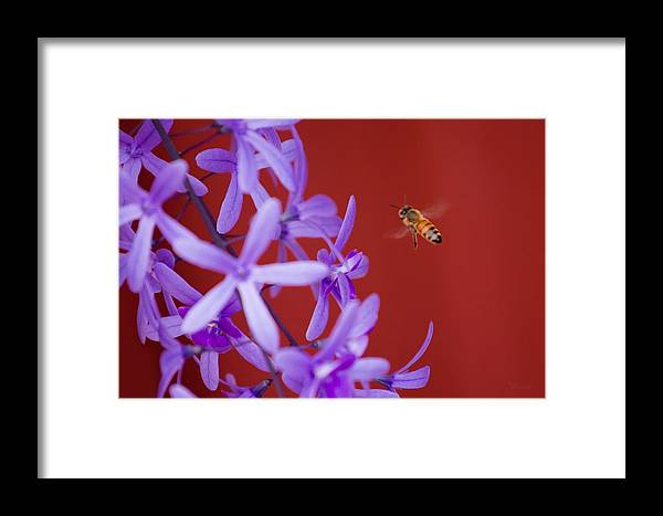 Bee Framed Print featuring the photograph Queen's Wreath Honey Bee by Marx Broszio