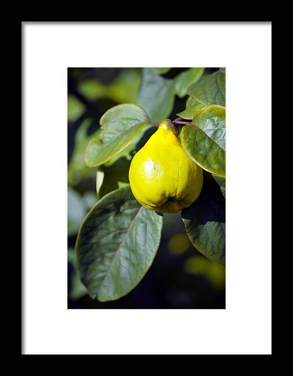 Cydonia Oblonga Framed Print featuring the photograph Quince Fruit by Dr Keith Wheeler