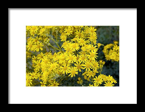 Senecio Jacobaea Framed Print featuring the photograph Ragwort (senecio Jacobaea) by Georgette Douwma