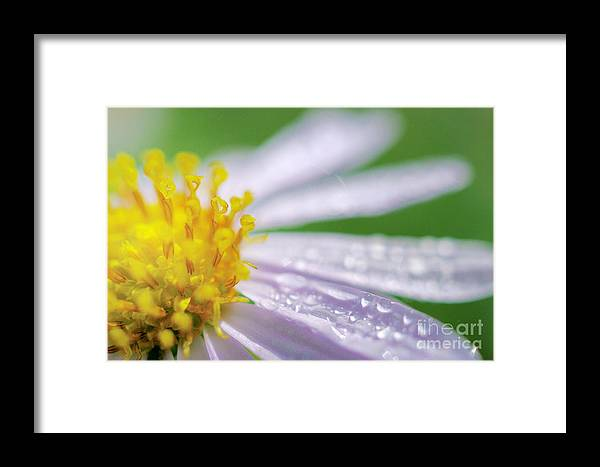Purple Framed Print featuring the photograph Rain Drop On Flower by Patipat Rintharasri