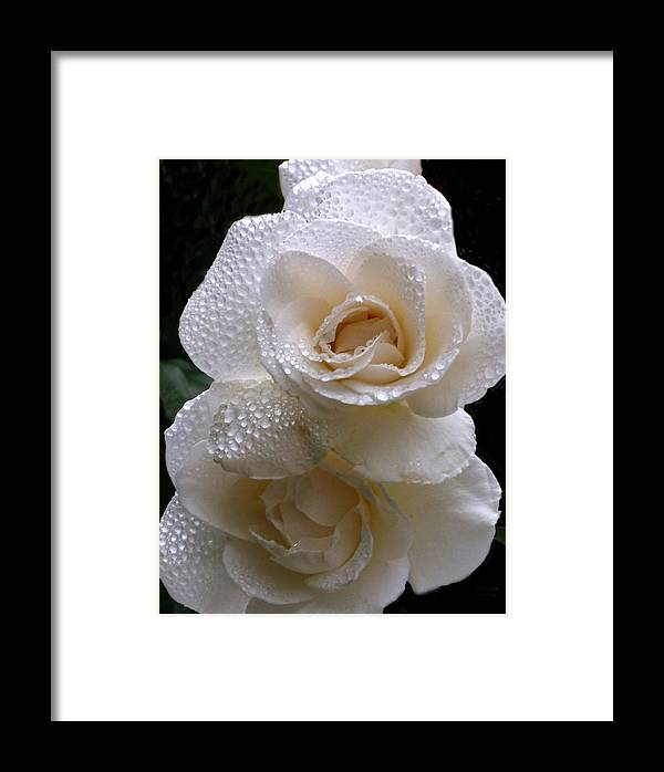 Rose. Flower Framed Print featuring the photograph Rain Drop Roses by Karey and David Photography