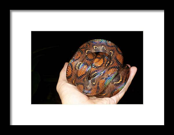 Epicrates Cenchria Framed Print featuring the photograph Rainbow Boa by Dr Morley Read
