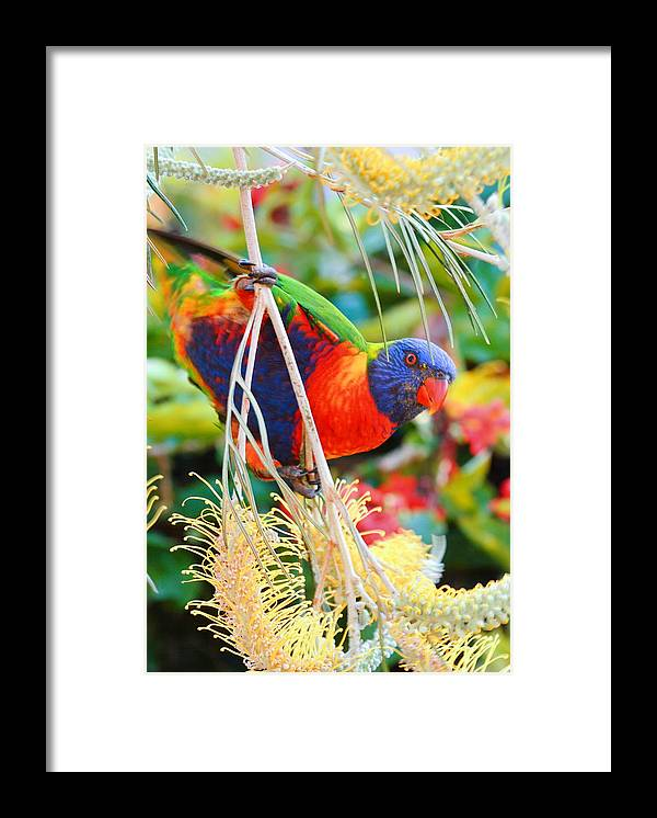 Rainbow Lorikeet Framed Print featuring the photograph Rainbow Lorikeet 2AM-8374 by Andrew McInnes