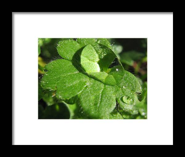Rain Framed Print featuring the photograph Raindrop Clover by Tyra OBryant
