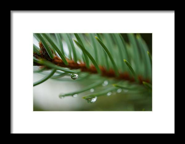 Raindrops And Fir Needles Framed Print featuring the photograph Raindrops And Fir Needles by Beth Akerman