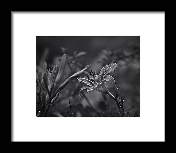 Daylily Framed Print featuring the photograph Rainy Day Lily by Susan Capuano