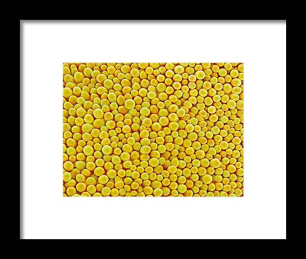 Brassica Napus Framed Print featuring the photograph Rape Flower Petal, Sem by Susumu Nishinaga