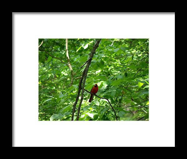 Cardinal Framed Print featuring the photograph Red And Green by Mary Hurst