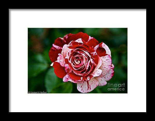 Garden Framed Print featuring the photograph Red And White Rose by Susan Herber