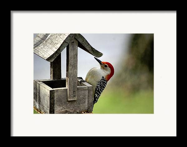 Red Bellied Woodpecker Framed Print featuring the photograph Red Bellied Woodpecker by L Granville Laird