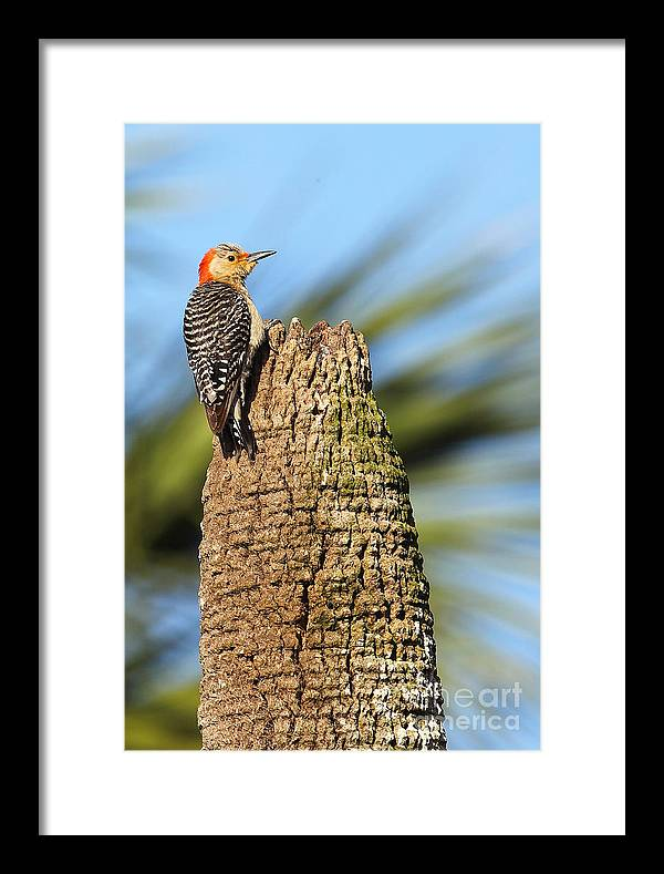 Bird Framed Print featuring the photograph Red Bellied Woodpecker by Rick Mann