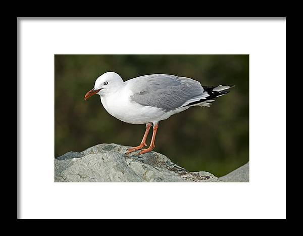 Larus Scopulinus Framed Print featuring the photograph Red Billed Gull by Tony Camacho