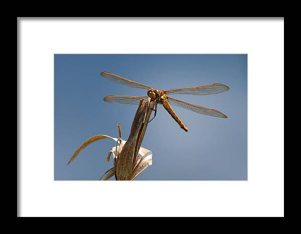 Dragonfly Framed Print featuring the photograph Red Dragon by Marx Broszio