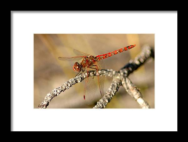 Red Framed Print featuring the photograph Red Dragonfly by David Brown