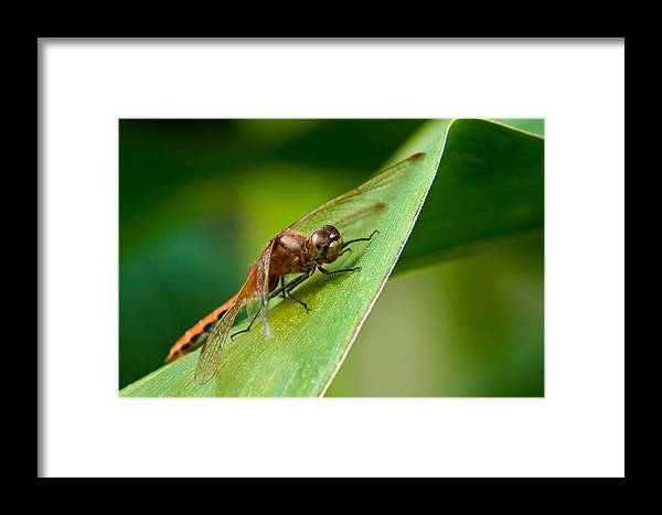 Animal Background Big Biology Bright Bug Bugs Closeup Corn Damselfly Dank Dart Dew Dragonfly Ecology Environment Exoskeleton Eyes Farm Fast Fly Insect Leaf Legs Macro Micro Nature One Perched Plant Predator Red Reflection Science Single Sunlight Vivid Wings Framed Print featuring the photograph Red Dragonfly by Matt Dobson