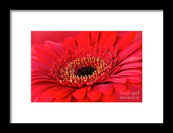 Canon Framed Print featuring the photograph Red Gerbera by Mihaela Limberea