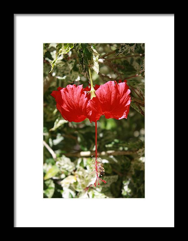 Hibiscus Framed Print featuring the photograph Red Hibiscus by Natalija Wortman