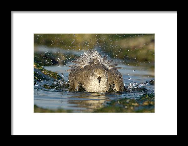 Fn Framed Print featuring the photograph Red Knot Calidris Canutus Bathing, Den by Do Van Dijck
