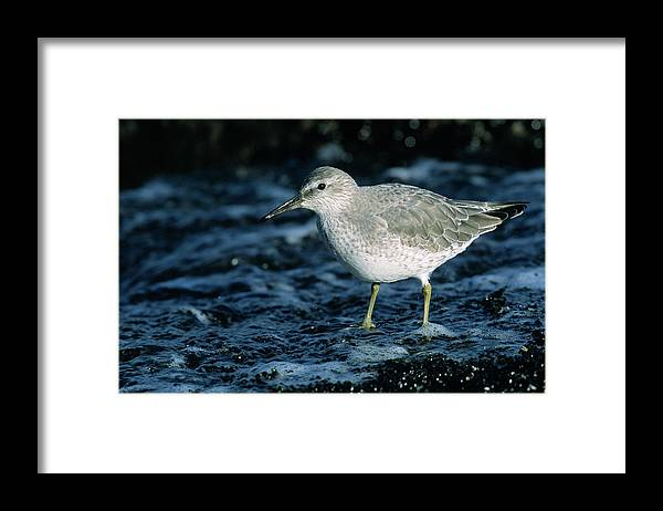Fn Framed Print featuring the photograph Red Knot Calidris Canutus In Winter by Hans Schouten