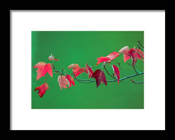 Framed Print featuring the photograph Red Leaves by Brian Stevens