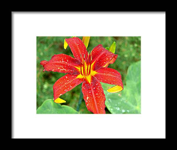 Red Framed Print featuring the photograph Red Lily by Brenda Conrad