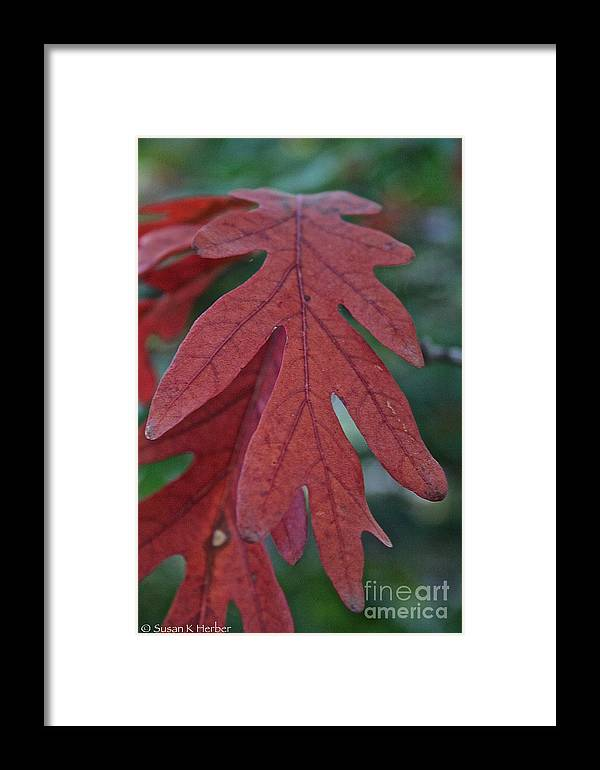 Outdoors Framed Print featuring the photograph Red Oak Leaf by Susan Herber