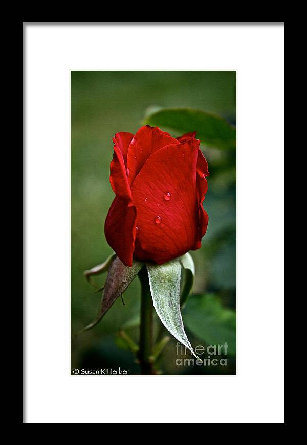 Garden Framed Print featuring the photograph Red Rain by Susan Herber