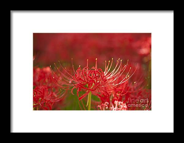 Red Framed Print featuring the photograph Red Spider Lily-1 by Tad Kanazaki