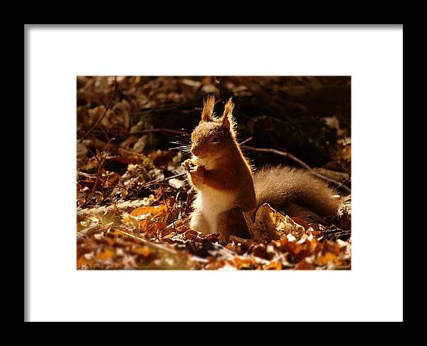 Red Squirrel Framed Print featuring the photograph Red Squirrel by Gavin Macrae