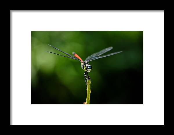 Dragonfly Framed Print featuring the photograph Red Tail Dragon by Chua ChinLeng