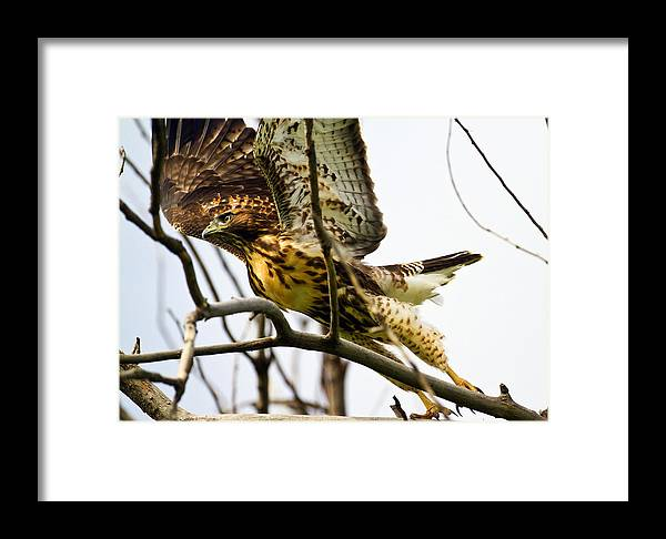 Accipitridae Framed Print featuring the photograph Red-tailed Hawk by Merle Ann Loman