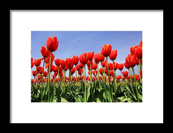 Tulips Framed Print featuring the photograph Red Tulips by Kean Poh Chua