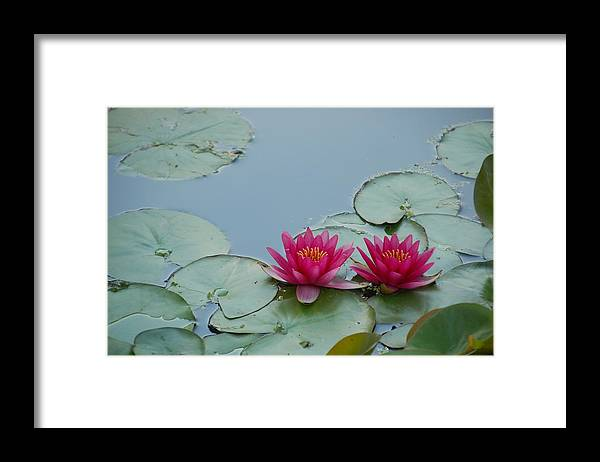 Water Lilies Framed Print featuring the photograph Red Water Lilies by Randy J Heath