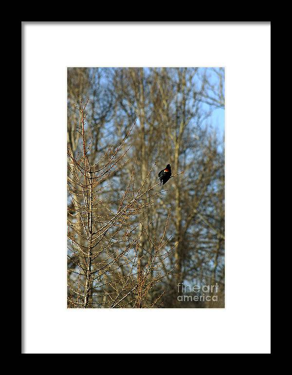 Red Wing Black Bird Framed Print featuring the photograph Red Wing Black Bird by Gordon Gaul