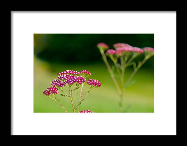 Flowers Framed Print featuring the photograph Red Yarrow On Green by Kenneth Sponsler