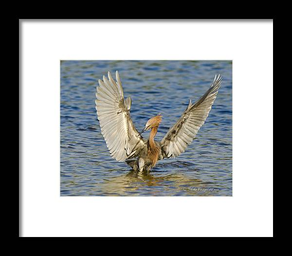 Florida Framed Print featuring the photograph Reddish Display by Mike Fitzgerald