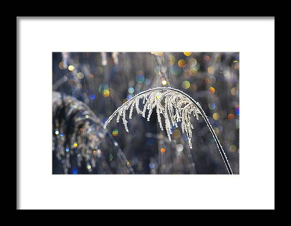Mp Framed Print featuring the photograph Reed With Frost And And Color by Konrad Wothe