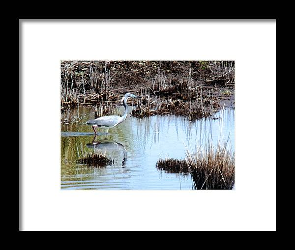 Herons Framed Print featuring the photograph Reflections Of A Blue Heron by Marilyn Holkham