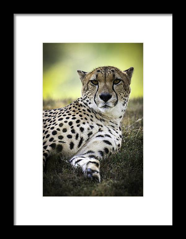 Animals Framed Print featuring the photograph Resting Cheetah by Chad Davis