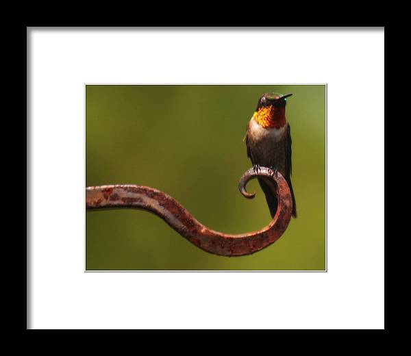 Nature Framed Print featuring the photograph Resting Hummingbird by Katie OKeefe