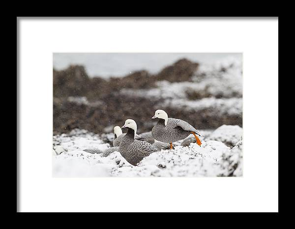 Adult Framed Print featuring the photograph Resting In The Snow by Tim Grams