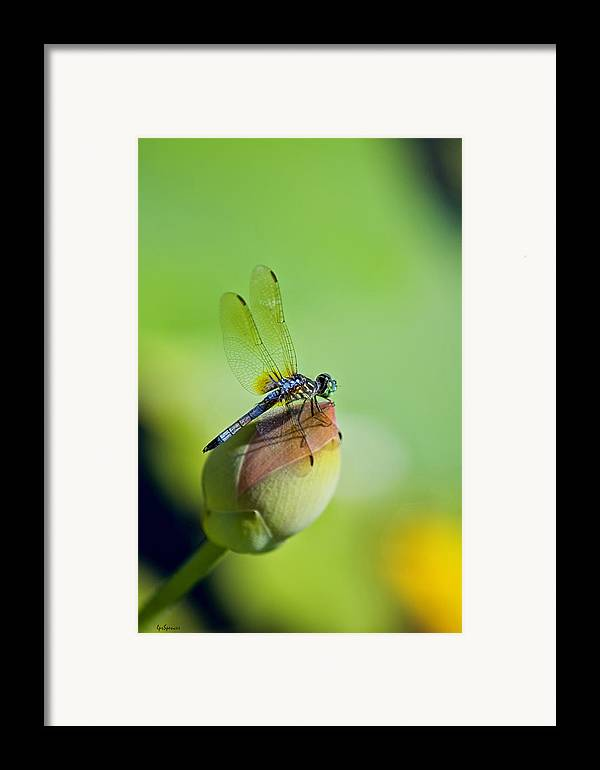 Dragon Fly Framed Print featuring the photograph Resting On A Lily by Lisa Spencer