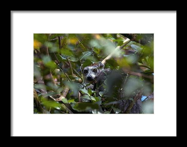 Alert Framed Print featuring the photograph Ring-tailed Lemur In A Tree by Alexis Rosenfeld